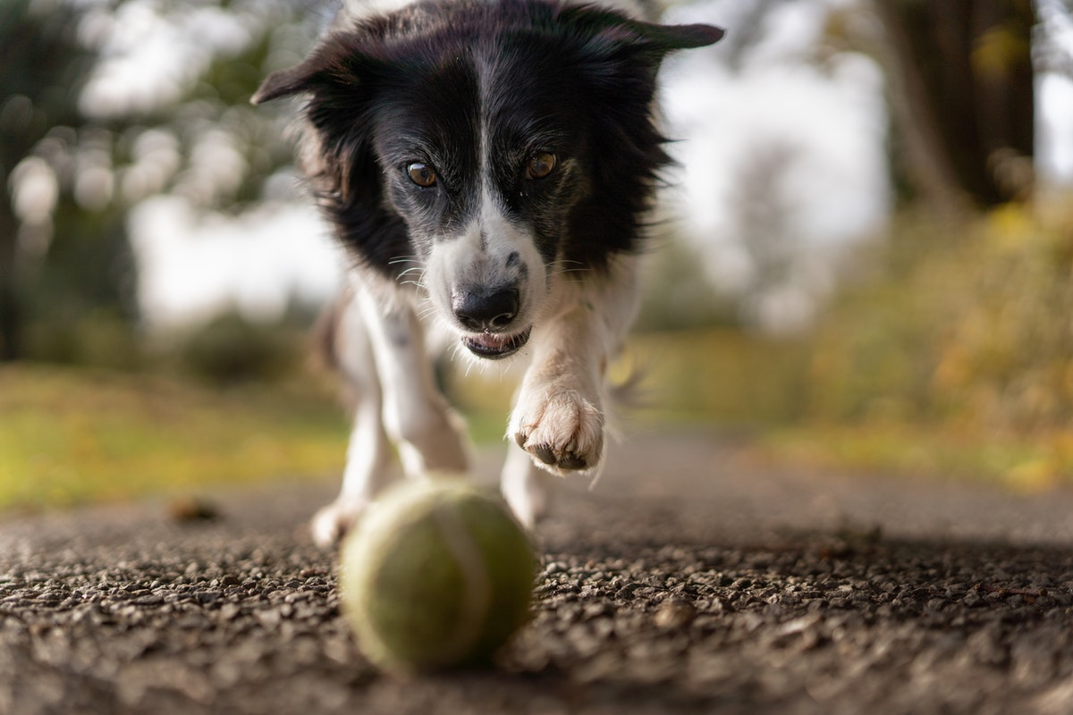 Dog chasing ball